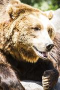 carnivore, brown bear, majestic and powerful animal - stock photo
