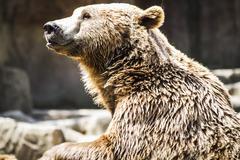 Predator, beautiful and furry brown bear, mammal Stock Photos