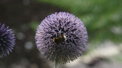 Bee feeds on nectar Globe Thistle (echinops ritro) - close up Stock Footage