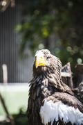 spanish golden eagle in a medieval fair raptors - stock photo