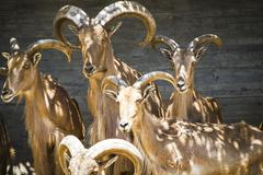 Group of mountain goats, family mammals with large horns Stock Photos