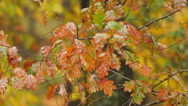 Stock Video Footage of White Oak Rain