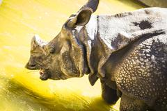 indian rhino with huge horn and armor skin - stock photo