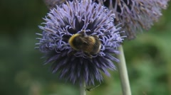Bumblebee feeds on nectar Globe Thistle (echinops ritro) - close up Stock Footage