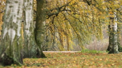 Fall Nature Landscape tree  Leaves in PArk Stock Footage