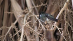 Hummingbird Demos Importance of 3 Positions Stock Footage