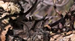 Desert Hummingbird Chicks Keep Cool Stock Footage