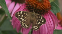 Speckled Wood (pararge aegeria) butterfly feeds on nectar echinacea Stock Footage
