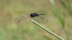Large dragonfly Stock Footage