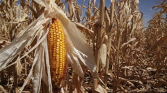 Drought Corn Kernel Stock Footage