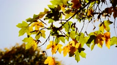 Weather change background. fall season. wind blowing. autumn leaves background Stock Footage