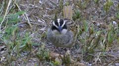 Stripe-headed Sparrow CU on Ground, Feeding Stock Footage