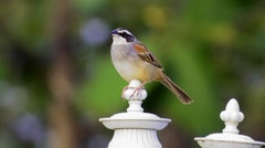 Stripe-headed Sparrow Stands Guard Atop Post Stock Footage