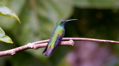 Green-breasted Mango Male MS/MCU Stock Footage