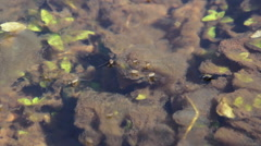 Water striders in the creek Stock Footage