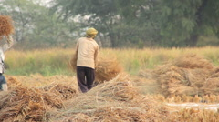 Harvesting rice in India Stock Footage