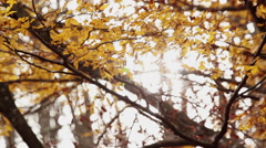 Beech wood at autumn - leaves back lit with sunlight  at wind Stock Footage