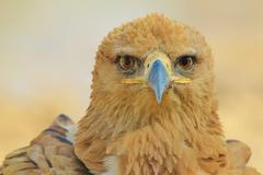 Tawny Eagle - Wild Bird Background from Africa - Stare of Golden Beauty and Pier - stock photo