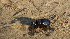 Big beetle walking at the beach Stock Footage