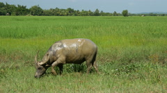 Water buffalo in wet grassland, Myanmar, Burma Stock Footage