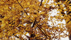 Beech forest at autumn back lit with sun light waving on wind - stock footage