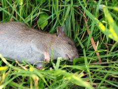 Dead rat lying in long grass Stock Photos