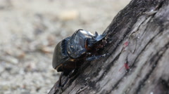 Stock Video Footage of Big beetle climing a tree