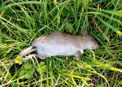 Dead rat with a broken leg on grass - stock photo