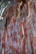 Sycamore tree texture Stock Photos