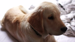 Puppy of golden retriever Stock Footage