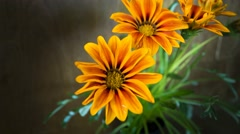 Gazania closing in the evening Stock Footage