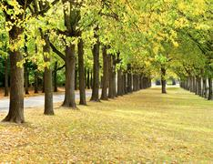 gold colored autumn trees line the road in a park - stock photo