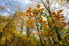 temperate forest at fall - stock photo