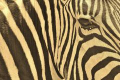 Zebra - Wildlife Background from Africa - Nature beauty and Animal Kingdom brill - stock photo
