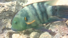 Fish broomtail wrasse red sea Stock Footage
