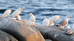 Little egrets on the rock Stock Footage