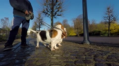 Basset hound dog on an autumn day - stock footage