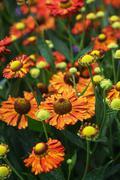 helenium hybridum flowers - stock photo