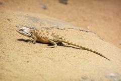 Steppe agama (trapelus sanguinolentus) Stock Photos