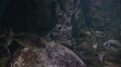 bream, Diplodus sargus sargus - stock footage