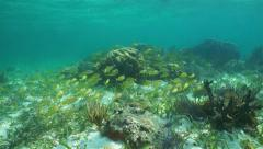 School of French grunt fish swimming on coral reef Stock Footage