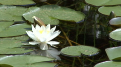 Pond lily 01 Stock Footage