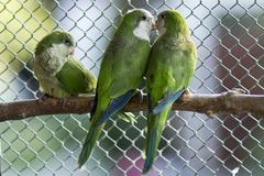 Green parrots Stock Photos