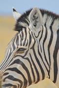 Zebra - Wildlife Background from Africa - Nature beauty and Animal Kingdom brill Kuvituskuvat