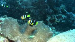 Stock Video Footage of clark's anemonefish Kuredu Maldives