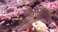 Stock Video Footage of clark's anemonefish Palau Micronesia