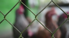 Free Range Chickens looking throught the fence in slow motion - stock footage