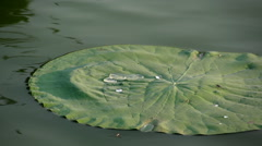 Kandawgyi lake, water drop on lily pad Stock Footage