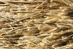 ears of barley illuminated by a warm light. - stock photo