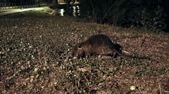 Nutria at night Stock Footage